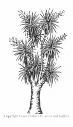 LDMA Cabbage Tree